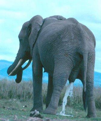 elephant pee